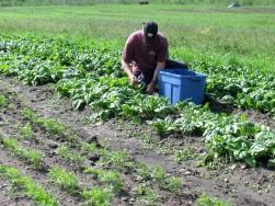 Récolte d'épinard